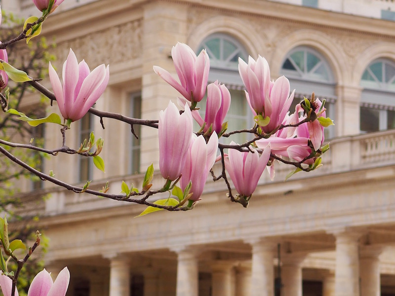 Magnolias Palais Royal