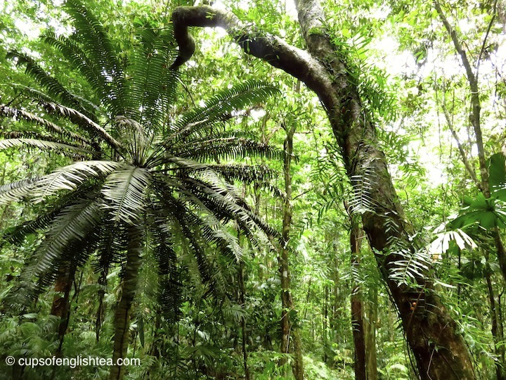 cape-tribulation-daintree-forest