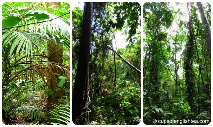 cape-tribulation-daintree-trees