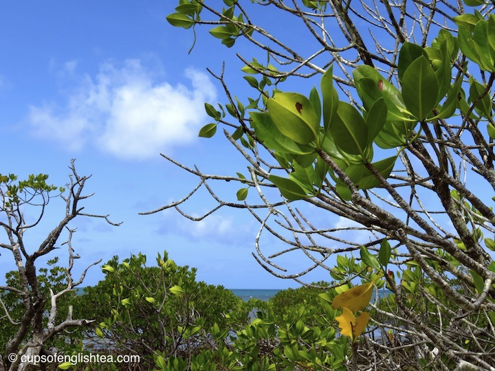 cape-tribulation-mangroves