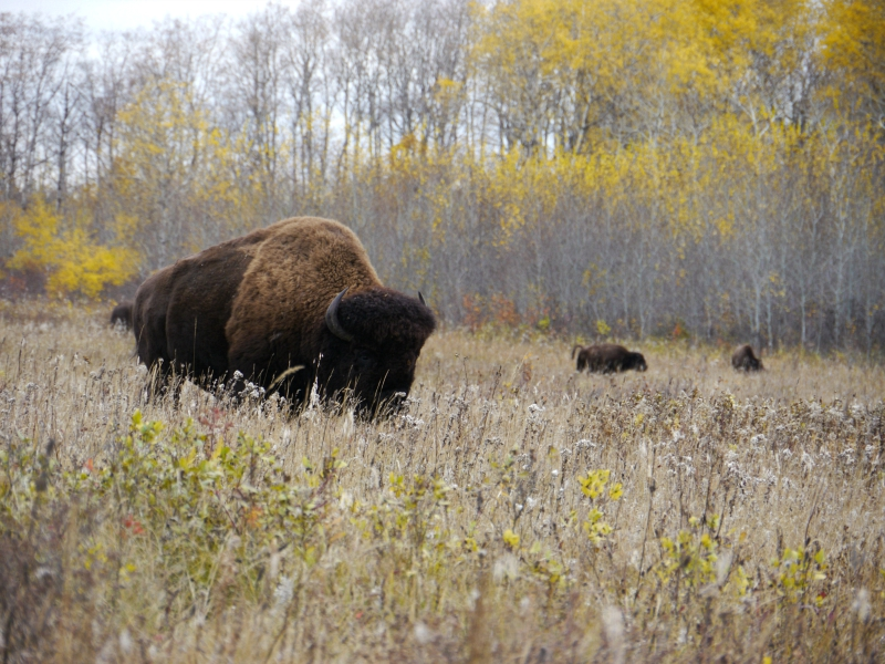 Bison Riding Mountain MB