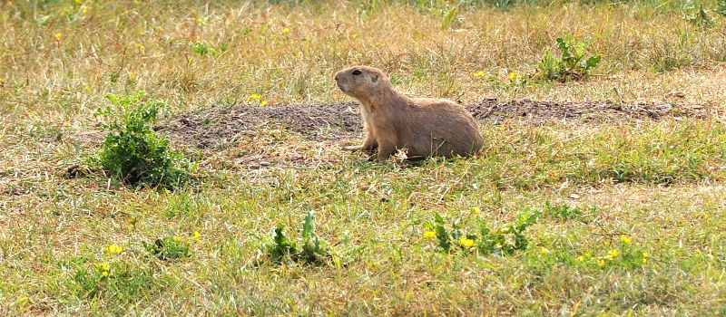 Prairie Dog Winnipeg